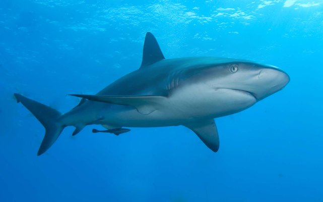 Caribbean-reef-shark-20140324090530948